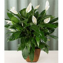 Spathiphyllum Plant, Canada