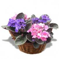 African Violet Basket, Canada